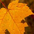 Autumn Oak Leaf by Brenda Jacobs