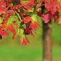 Autumn Oak Tree by Barbara Treaster