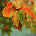 Autumn Persimmon Leaves by Terry Davis