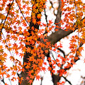 Autumn Red Leaves On A Tree   by U Schade