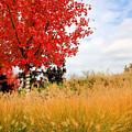 Autumn Red Maple by Kristin Elmquist