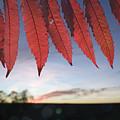 Autumn Red Sumac Leaves by Jim Richardson