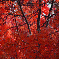Autumn Red Trees 2015 by Thomas Woolworth