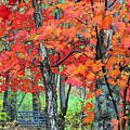 Autumn Sugar Maple by Thomas R Fletcher