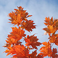 Autumn Tree Leaves Art Prints Blue Sky White Clouds by Baslee Troutman