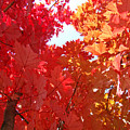 Autumn Trees Red Orange Fall Trees Art Baslee Troutman by Baslee Troutman