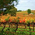 Autumn Vines by Douglas Barnard