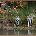 Autumn Wolf Study  by Shari Jardina