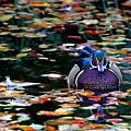 Autumn Wood Duck by Debi Dalio