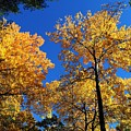 Autumn Yellow Foliage On Tall Trees Against A Blue Sky In Palermo by David Rafuse Captured Images of Maine