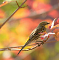 Autumn Yellow Rumped Warbler by K D Graves