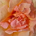 Autumns Rose by Gwyn Newcombe