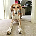 Ava On Her First Birthday #saluki by John Edwards