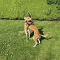 Ava The Saluki And Finly The Lurcher by John Edwards