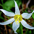 Avalanche Lily by Albert Seger