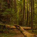 Avenue Of The Giants by Michele  James