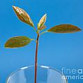 Avocado Seedling by Ted Kinsman