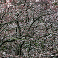 Awash In Cherry Blossoms by Doug Sturgess