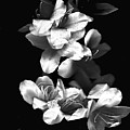 Azaela Blossom In Black And White by Wayne Potrafka