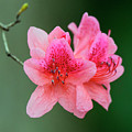 Azalea Blooms On A Green Background by Steve Samples