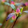 Azalea Bud Energy by Beth Sawickie