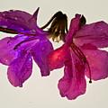 Azalea Doublet by Douglas Barnett