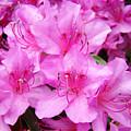 Azalea Floral Garden Fine Art Photography Baslee Troutman by Baslee Troutman