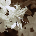 Azalea Flowers In Sepia Brown by Jennie Marie Schell