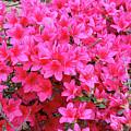 Azalea Flowers by Michael Munster
