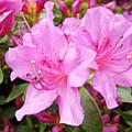 Azalea Garden Art Prints Pink Azaleas Flowers Baslee Troutman by Baslee Troutman