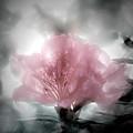 Azalea Soul by Helyn Broadhurst Cornille