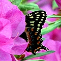 Azalea With Butterfly by J M Farris Photography