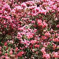 Azaleas Aplenty by Carol Groenen