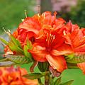Azaleas Art Home Decor 14 Orange Azalea Flowers Art Prints Greeting Cards by Baslee Troutman