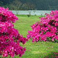 Azaleas At The Azores by Gaspar Avila