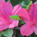Azaleas II by Stacey May