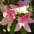 Azalea's In Bloom by Judy  Waller