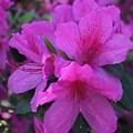 Azaleas In Springtime by Arlene Showalter