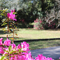 Azaleas In The Close 10 by Laura Martin