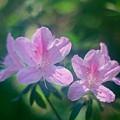 Azaleas by Phil Penne