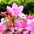 Azaleas Pink Azalea Flowers Artwork 12 Landscape Art Prints by Baslee Troutman