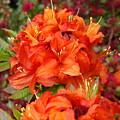 Azaleas Rhodies Art Prints Azalea Flowers Giclee Baslee Troutman by Baslee Troutman