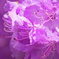 Azaleas by Steven Natanson