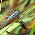 Azure Dragonfly 1 by David Dunham