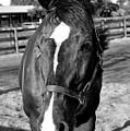 B And W Horse Headshot by Allan Einhorn