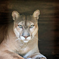 Babcock Wilderness Ranch - Portrait Of Oceola The Panther by Ronald Reid
