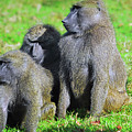 Baboon Bunch by Spade Photo