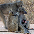 Baboon Family by Suzanne Morshead