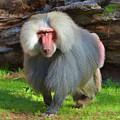Baboon Stalking by Kathy Baccari