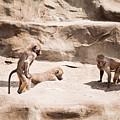 Baboons Monkeys Having Sex by Arletta Cwalina